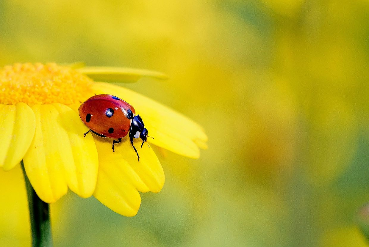 Are Ladybugs Good For Your Garden?